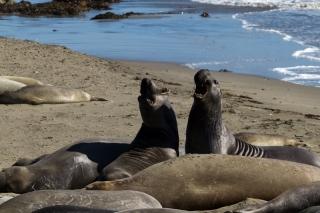 USA - Côte Pacifique : éléphants de mer à San Simeon