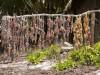 Zanzibar - Matemwe : la culture des algues